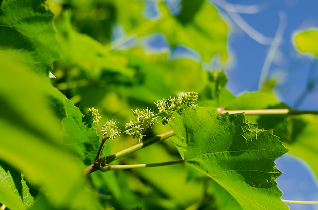 Kwitnienie winogron