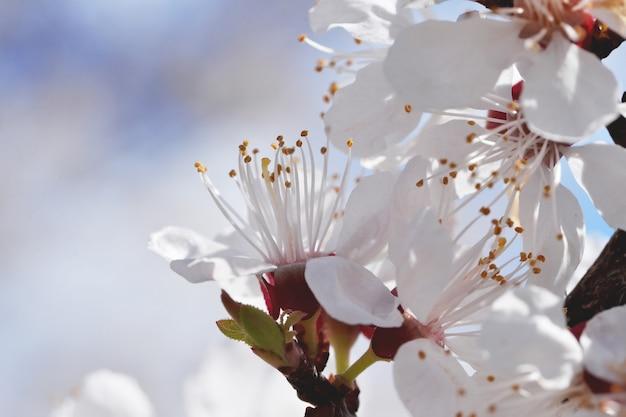 Kwitnienie wiśni w ogrodzie wiosną o zachodzie słońca. kwitnący wiśniowy sad na wiosnę. ogrodnictwo wiosną. wiosenne kwitnienie drzew.