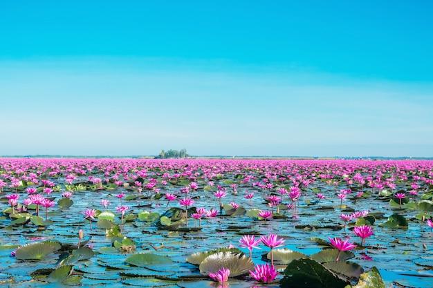 Kwitnij kwiaty lilii wodnej nad jeziorem, cudowny różowy lub czerwony krajobraz lilii wodnej mlooming