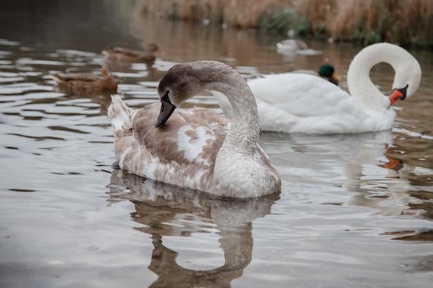 Łabędź i kaczki na jeziorze gorodiszczenskoe w izborsku w obwodzie pskowskim.