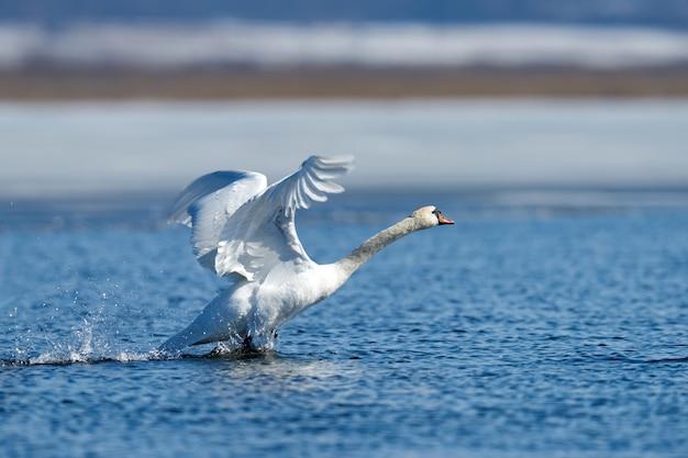 Łabędź lecący nad wiosennym niebieskim jeziorem