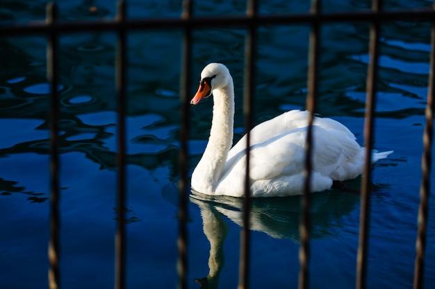 Łabędź na błękitnej jezioro wodzie w słonecznym dniu, łabędź na stawie, natur serie