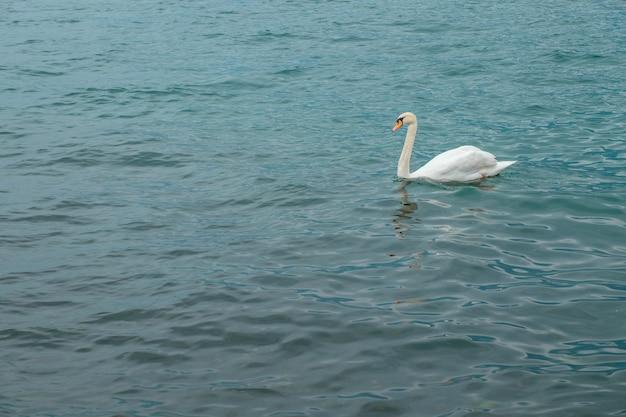 Łabędź na jeziorze garda. żaglówka i łabędź. włochy.