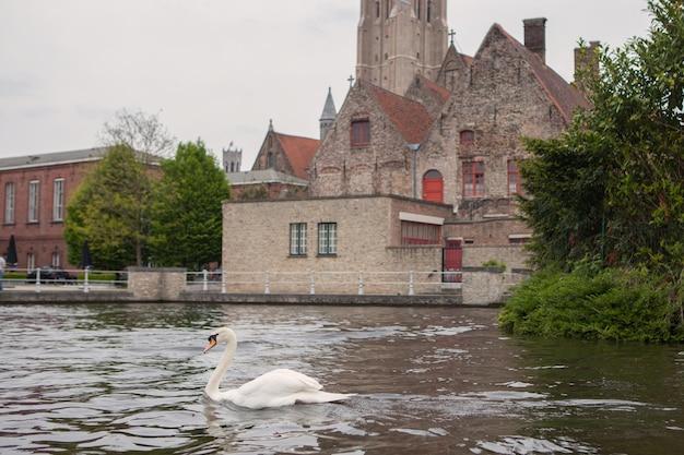 Łabędź na jeziorze w brugii, belgia