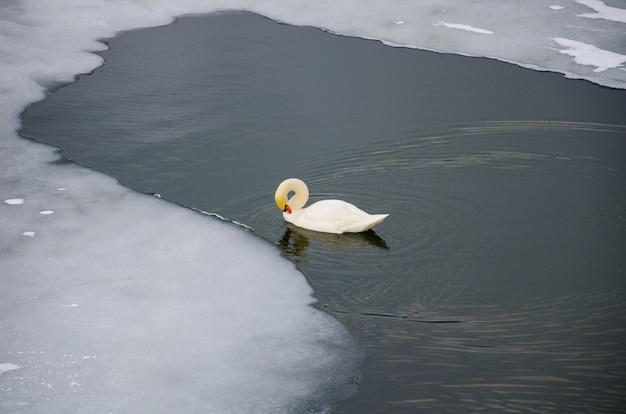Łabędź na rzece w pobliżu lodu