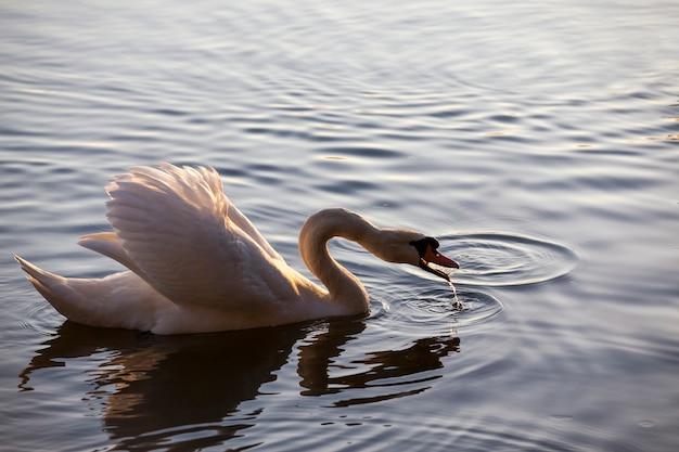 Łabędź na wiosnę, piękne ptactwo wodne łabędź na jeziorze na wiosnę, jezioro lub rzeka z łabędziem, zbliżenie