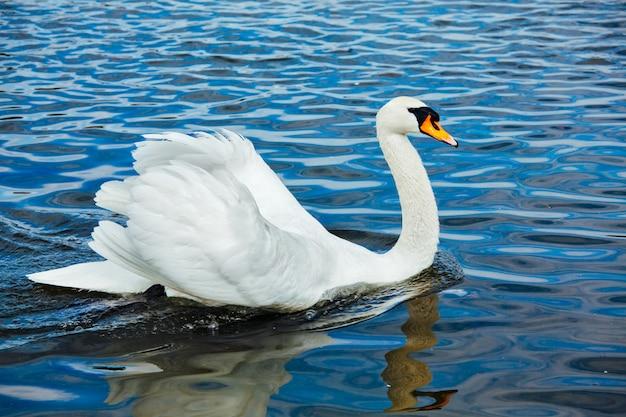Łabędź niemy cygnus olor w jeziorze