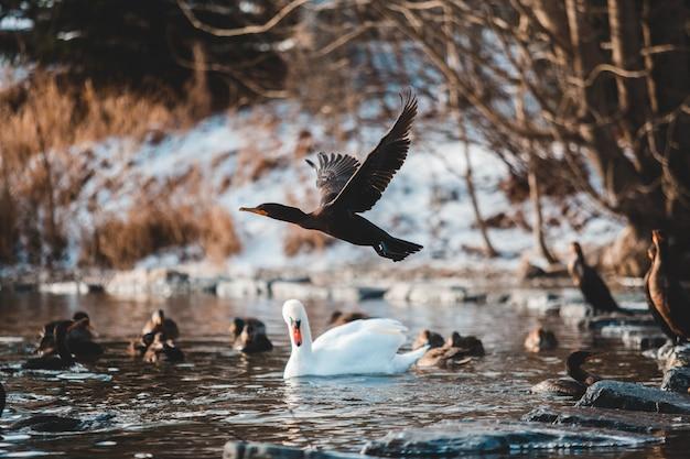 Łabędź otoczony innymi ptakami