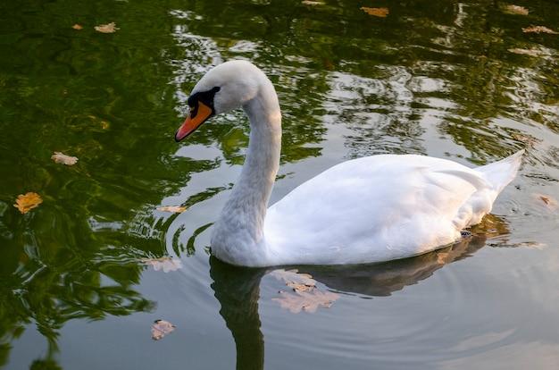 Łabędź pływa w jeziorze. kropla wody wypada z dzioba i zatacza się w wodzie.