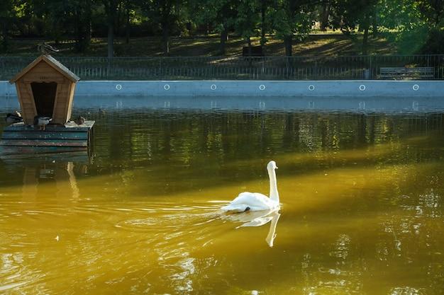 Łabędź pływa w jeziorze w pięknym parku miejskim