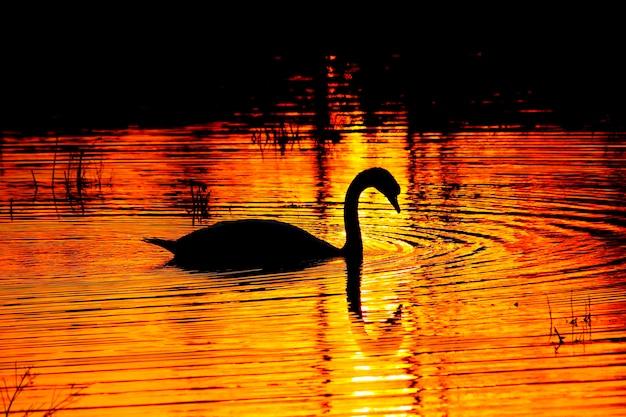 Łabędź pływanie na wodzie o zachodzie słońca