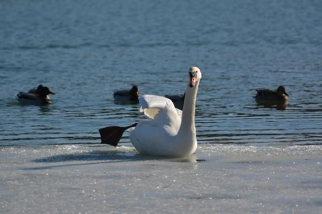 Łabędź siedzący na lodzie w pobliżu rzeki