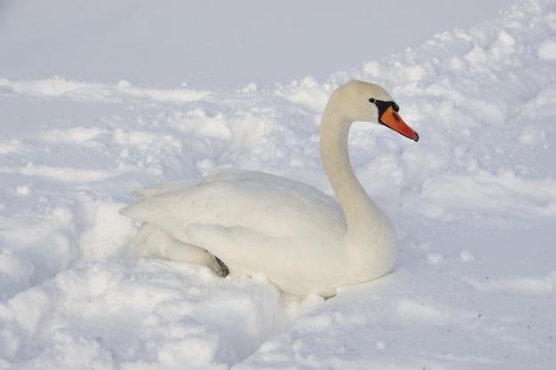 Łabędź siedzi w głębokim śniegu