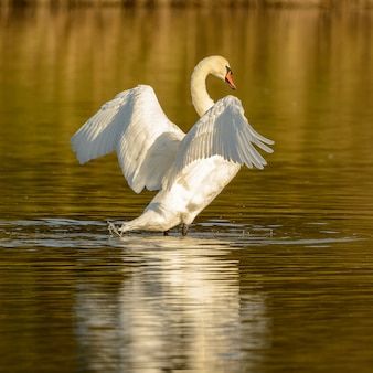 Łabędź trzepoczący skrzydłami stojący w wodzie