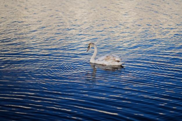 Łabędź w błękitnej wodzie