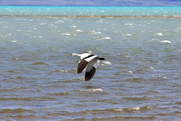 Łabędź w laguna nimez reserva w el calafate, patagonia, argentyna