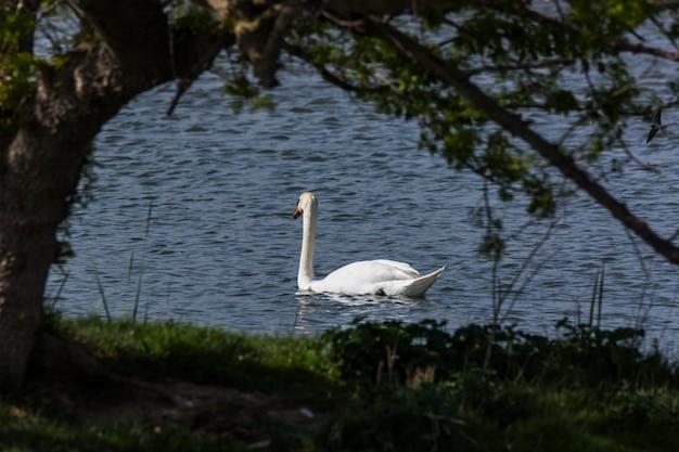 Łabędź wiosną w rezerwacie przyrody aiguamolls de l'emporda w hiszpanii.