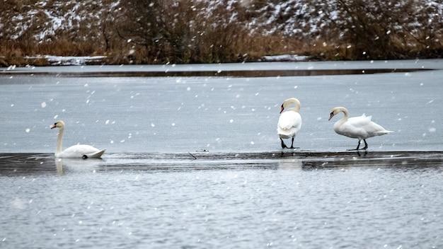 Łabędzie na lodzie rzeki podczas opadów śniegu
