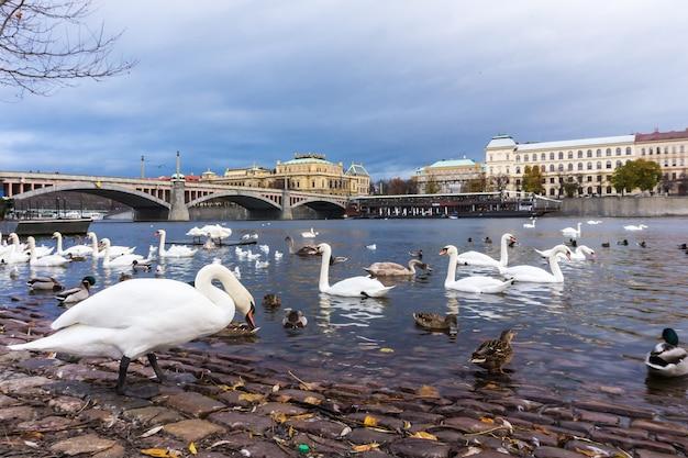 Łabędzie na rzece wełtawie w pradze, stolicy czech, niedaleko mostu karola