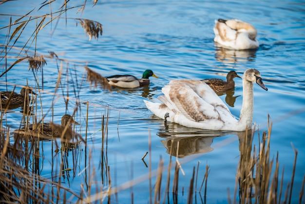 Łabędzie nieme i kaczki na jeziorze w parku.