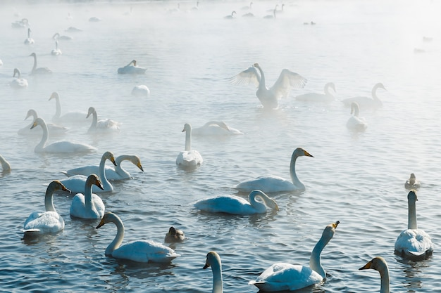 Łabędzie we mgle pływanie w wodzie w jeziorze na świeżym powietrzu