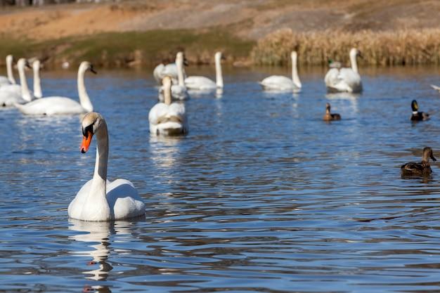 Łabędzie wiosną, piękna grupa ptaków wodnych, łabędzie na jeziorze lub rzece, grupa łabędzi pływających po wodzie