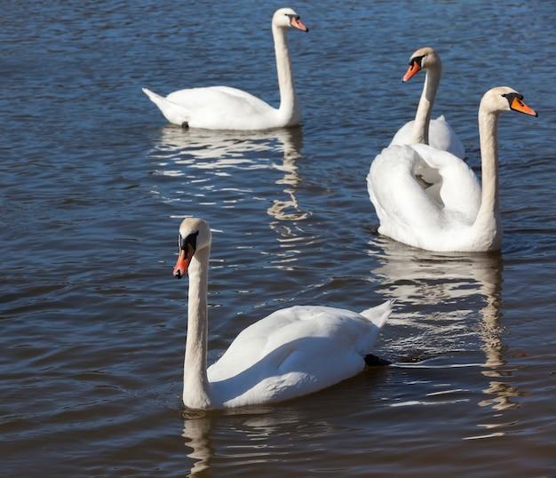 Łabędzie zbliżenie wiosną piękny ptactwa wodnego grupa ptaków łabędzie łabędzie nad jezioro lub rzeka grupa łabędzie pływają wodzie