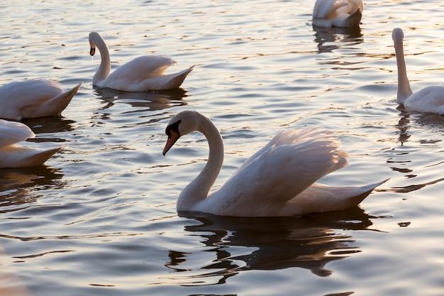 Łabędzie zbliżenie wiosną piękny ptactwa wodnego grupa ptaków łabędzie łabędzie nad jezioro lub rzeka