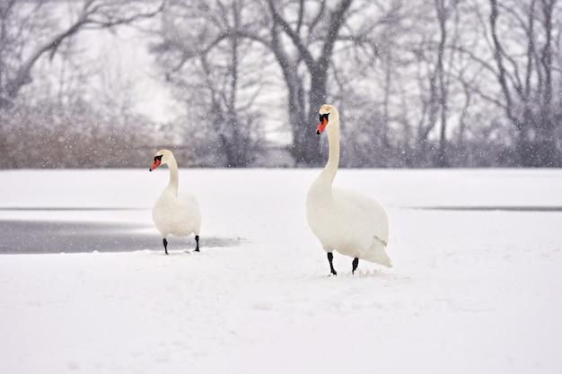Łabędzie zimą. piękny ptasi obrazek w zimy naturze z śniegiem.