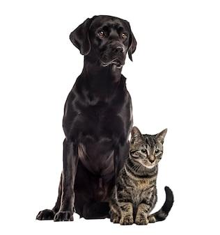 Labrador i kot europejski siedzi, na białym tle