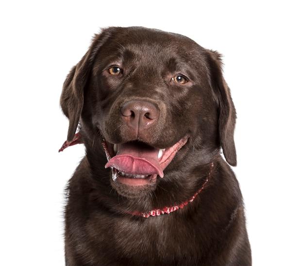 Labrador patrzeje kamerę przeciw białemu tłu