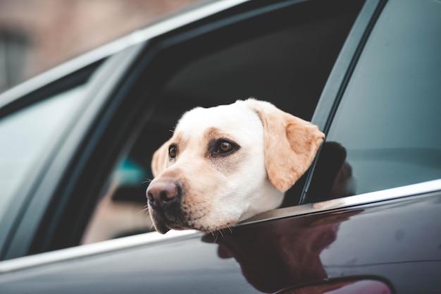 Labrador patrzy w szybę samochodu
