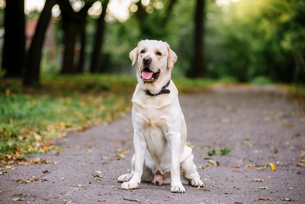Labrador pies na zewnątrz jesienią