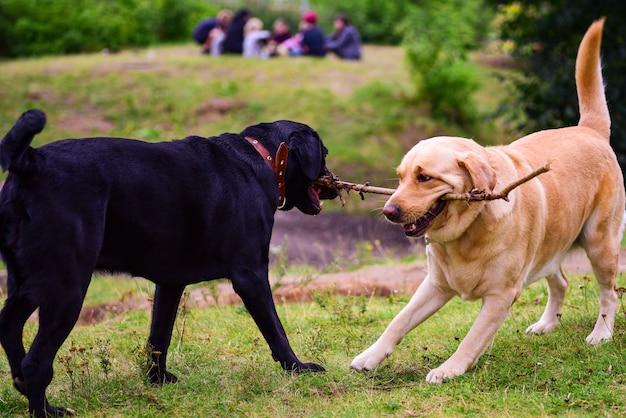 Labrador psy bawiące się kijem w parku