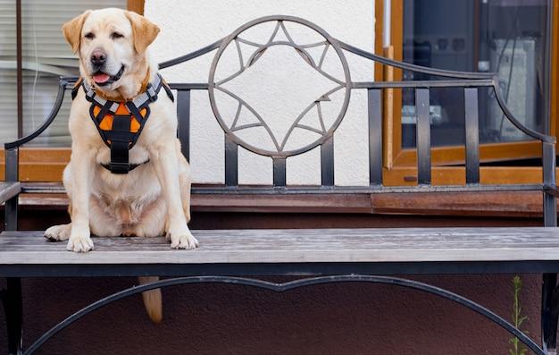 Labrador rescue service siedzi w sklepie z kutym żelazem, w specjalnej kamizelce. zdjęcie wysokiej jakości