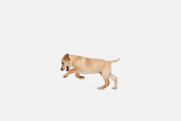 Labrador retriever mały piesek rżnięcie, pozowanie na białym tle na białej ścianie. koncepcja miłości, śmieszne emocje zwierzaka. miejsce na reklamę. pozowanie słodkie. aktywny zwierzak w ruchu, akcja.