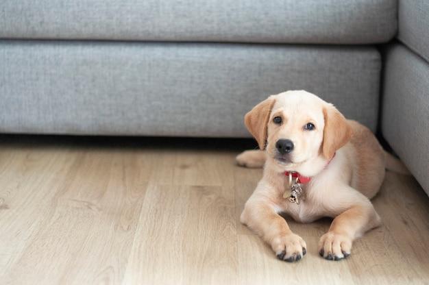 Labrador retriever portret siedzi w salonie.