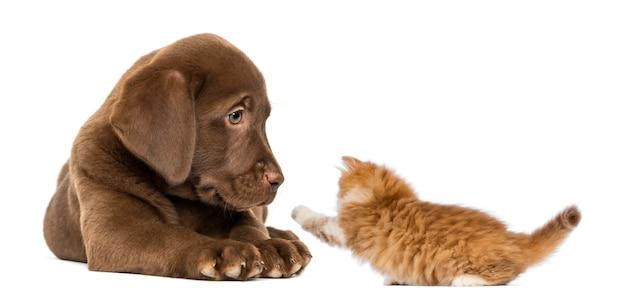 Labrador retriever puppy leży i patrzy na figlarnego rudego kotka