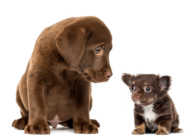 Labrador retriever puppy siedzi