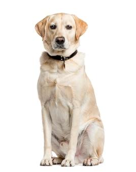 Labrador retriever, siedząc i patrząc na kamery, na białym tle