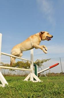 Labrador retriever w zwinności