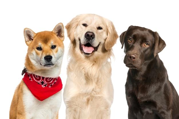 Labrador shiba inu ubrany w czerwony szalik golden retriever przed białą ścianą