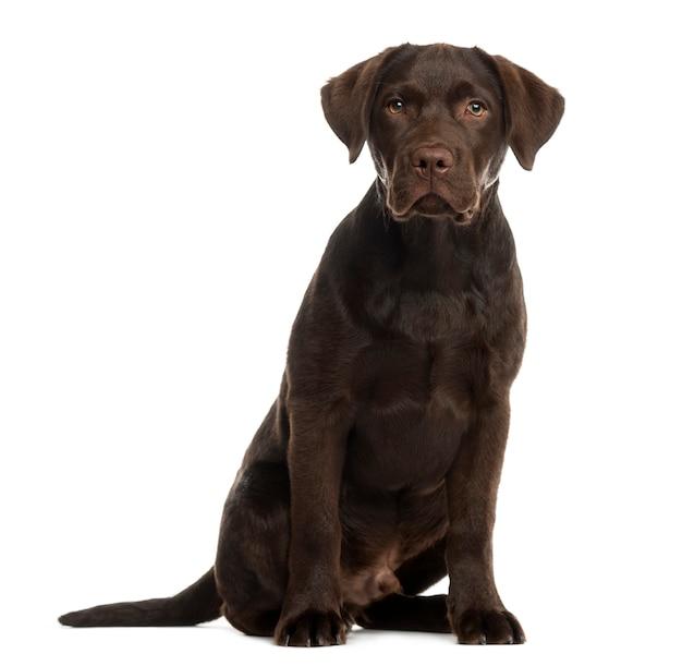 Labrador siedzący przed białą ścianą