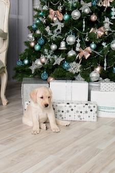 Labrador szczeniak obok prezentów pod choinką