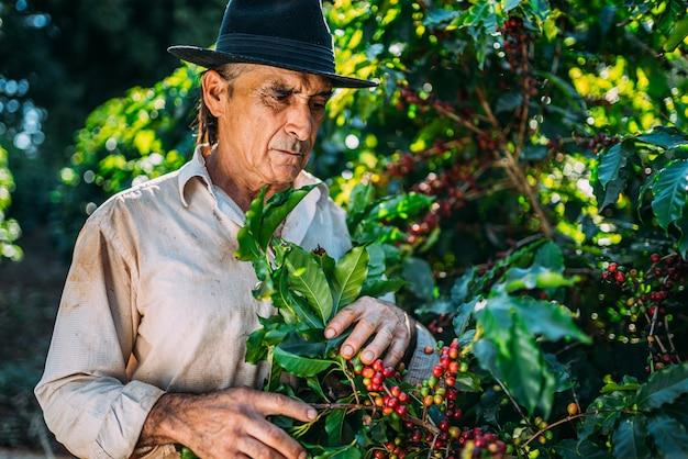 Łaciński mężczyzna zbierając ziarna kawy w słoneczny dzień. rolnik kawy zbiera jagody kawy. brazylia