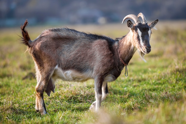 Ładna biała brown kosmata brodata kózka z długimi rogami i brodą na jaskrawym pogodnym ciepłym letnim dniu na zamazanym zielonym trawiastym polu. hodowla zwierząt domowych.