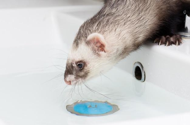 Ładna fretka uśmiecha się w ciepłej kąpieli wodnej