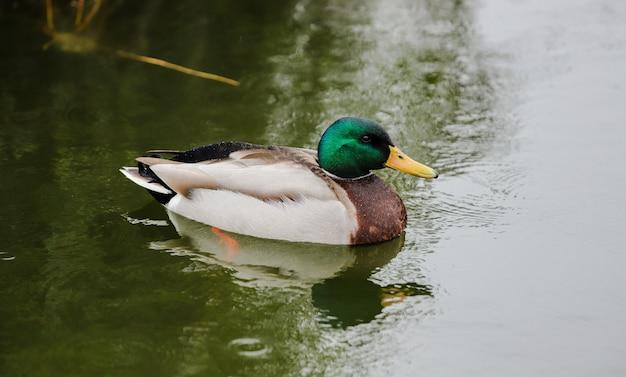 Ładna kaczka z zieloną głową w zielonych wodach małego stawu. zbliżenie krzyżówka