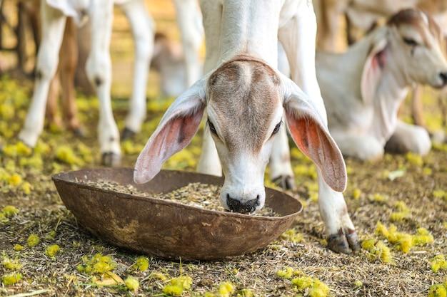 Ładna mała dziecko krowa lub łydkowa łasowanie trawa na ziemi uprawnej