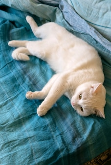 Ładny biały kot leżący w łóżku. puszysty zwierzak rozciągający się. ładny kotek rozciągający się na łóżku